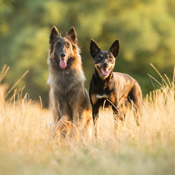 zwei-hunde