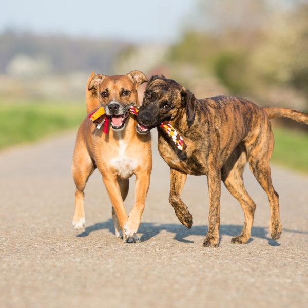 zwei-hunde-spielend