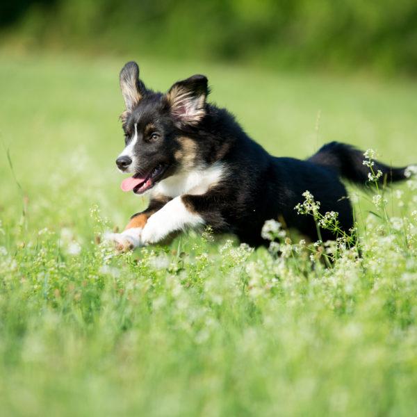 hund-schwarz-laufend